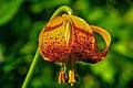 Sun Peaks floral displays.Columbian Lily (Lilium columbianum) (15281033756).jpg