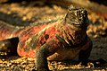 Sunning Marine Iguana (6519209233).jpg