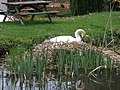 Swan's nest, Sampford Peverell - geograph.org.uk - 1247959.jpg