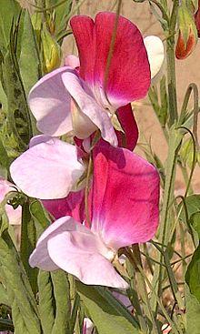 Gardening 101: Sweetpeas - Gardenista