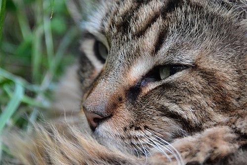 Tête d'un chat angora.jpg