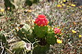 Tías - Masdache - LZ-58 - Austrocylindropuntia subulata 01 ies.jpg