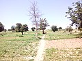 THORN TREE IN FALGORE FOREST KANO STATE.jpg