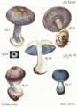 Tab34-Agaricus caerulescens Schaeff.png