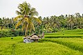Tabanan-Regency Indonesia Rice-paddies-08.jpg