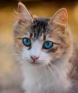 Tabby cat with blue eyes-3336579.jpg