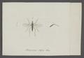 Tachydromia - Print - Iconographia Zoologica - Special Collections University of Amsterdam - UBAINV0274 038 09 0003.tif