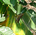 Tailed Jay. Graphium agamemnon. - Flickr - gailhampshire.jpg