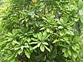 Talauma hodgsonii north Bengal AJTJ.JPG