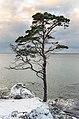 Tall på vintern vid Sigsarve strand norra Gotland.jpg