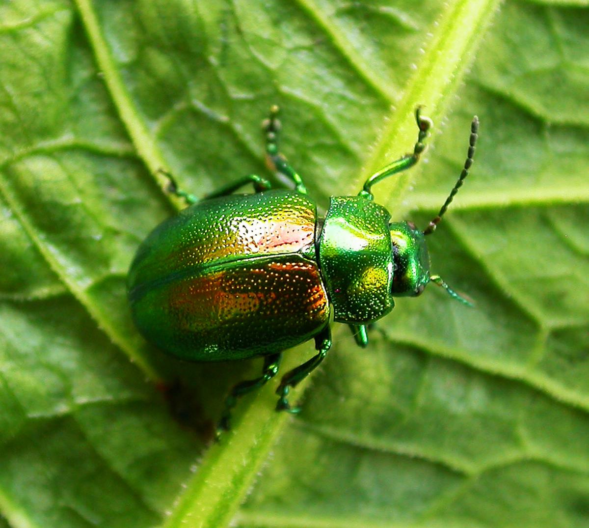 Tiny Plant Tansy Beetle Wikipedia
