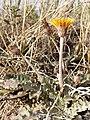 Taraxacum serotinum sl84.jpg