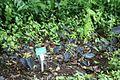 Taro, Kalo (Colocasia esculenta) (2868495177).jpg