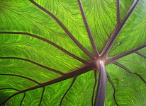 Taro leaf underside, backlit by sun - edit.jpg