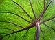 Taro leaf underside, backlit by sun - edit.jpg