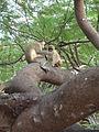 Tarrafal-Singes verts (1).jpg