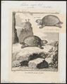 Testudo nigra - 1700-1880 - Print - Iconographia Zoologica - Special Collections University of Amsterdam - UBA01 IZ11600081.tif