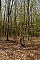 Texel - De Dennen - Budding Beeches - View NW.jpg