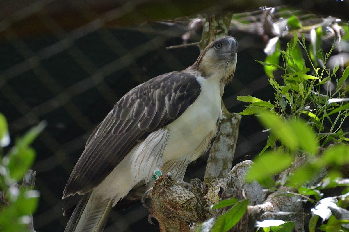 Animal Electrocuted Porn philippine eagle - wikipedia