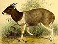 The book of antelopes (1894) Cephalophus jentinki 2.jpg