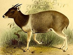 The book of antelopes (1894) Cephalophus jentinki 2.jpg