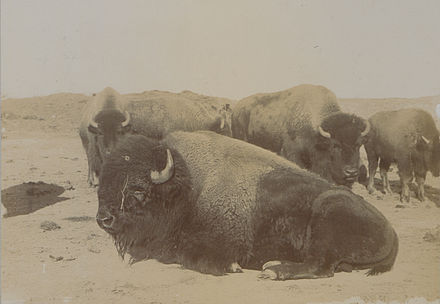 Last of the Canadian Buffaloes, 1902, photograph: Steele and Company The last of the Canadian buffaloes Photo No 580 (HS85-10-13487).jpg