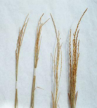 Thinopyrum intermedium - Image: Thinopyrum intermedium head types