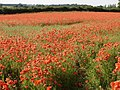 """This is why Norfolk is called """"Poppyland"""" - geograph.org.uk - 1528928.jpg"""