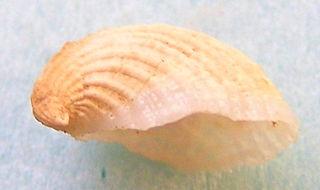 <i>Thyca</i> Genus of gastropods