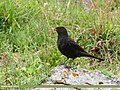 Tibetan Blackbird (Turdus maximus), Hunza, Pakistan (30876128907).jpg