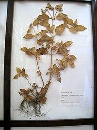 Tibouchina clinopodifolia - Jardim Botânico de São Paulo - IMG 0231