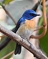 Tickell's Blue Flycatcher Cyornis tickelliae by Dr. Raju Kasambe DSCN0543 (5).jpg