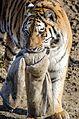 Tiger (16364015418).jpg