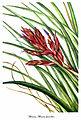 Tillandsia fasciculata, by Mary Vaux Walcott.jpg