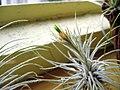 Tillandsia plumosa (43980799).jpg