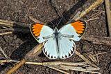 Tiny orange tip (Colotis evagore antigone).jpg