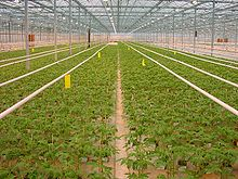 A tomato greenhouse in the Netherlands.