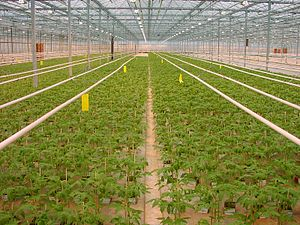 Mesocosm - A tomato greenhouse in the Netherlands.