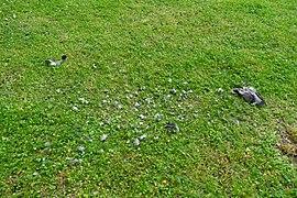 Tote Taube am Bismarckturm Hof 20200620 DSC2435.jpg