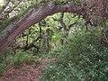 Tree arch, Hayburn Wyke, Cloughton - geograph.org.uk - 245026.jpg