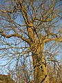 Tree in winter - geograph.org.uk - 327432.jpg