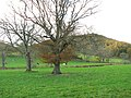 Trees and cattle - geograph.org.uk - 610410.jpg