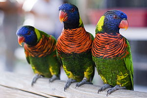 Aquarium of the Pacific - Three Rainbow Lorikeets at the Aquarium