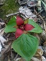 Trillium erectum - Trille rouge - Red trillium (5705275523).jpg