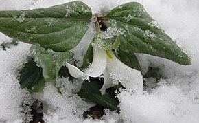 Description de l'image Trillium nivale emergent small.jpg.