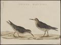 Tringa maritima - 1829 - Print - Iconographia Zoologica - Special Collections University of Amsterdam - UBA01 IZ17400231.tif