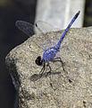 Trithemis donaldsoni Denim Dropwing.jpg