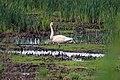 Trumpeter Swan (36092200886).jpg