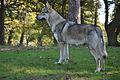Tschechoslowakischer Wolfhund Rüde.jpg