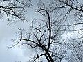 Tulip Tree (30486568584).jpg